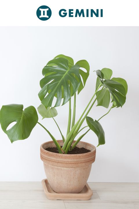 Flowerpot, Houseplant, Plant, Monstera deliciosa, Flower, Leaf, Anthurium, Flowering plant, Botany, Alismatales,