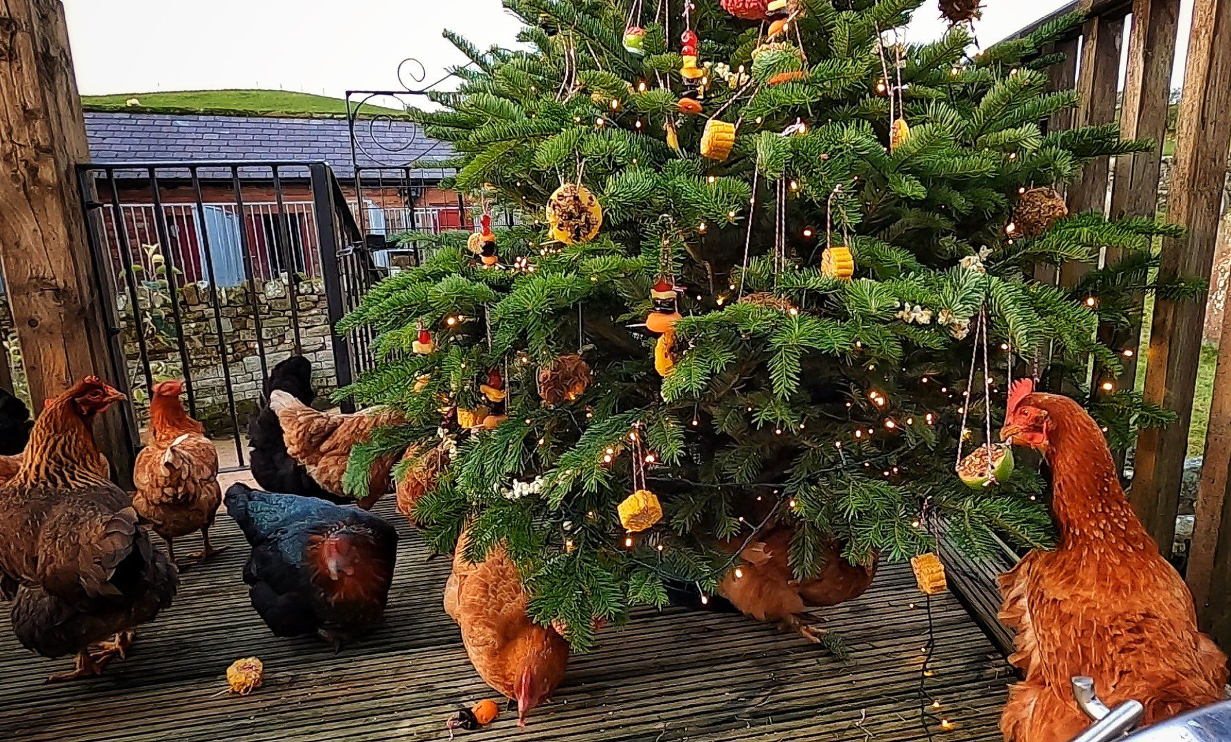Countryfile's Hannah Jackson unveils edible Christmas tree for wild birds and chickens on farm