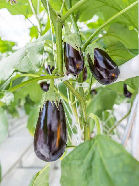 eggplant grown in a greenhouse