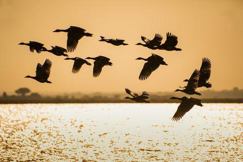 Egyptian geese (Alopochen aegyptiacus) flying above Chobe River, evening light, Chobe National Park, Botswana
