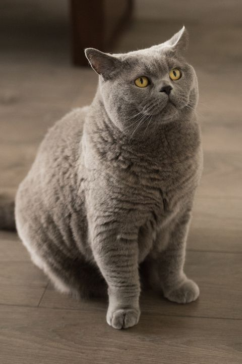 10 Best Large Cat Breeds Top Big Cat List And Pictures