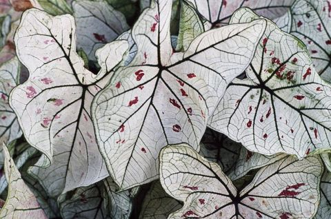 best plants for shade caladium veranda