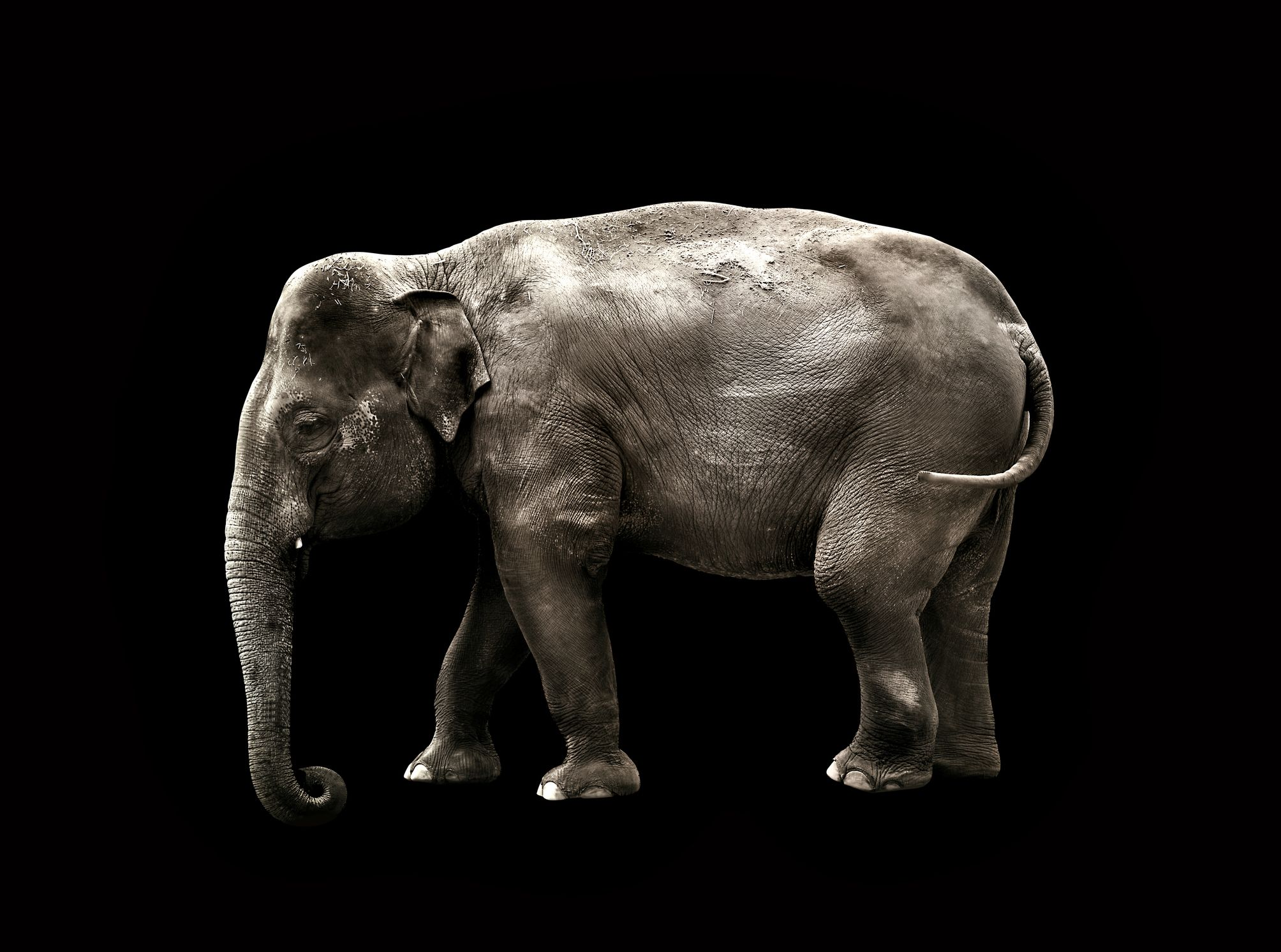 Not all elephants have tusks.