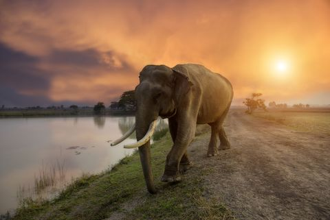 Elephant on sunrise at lake