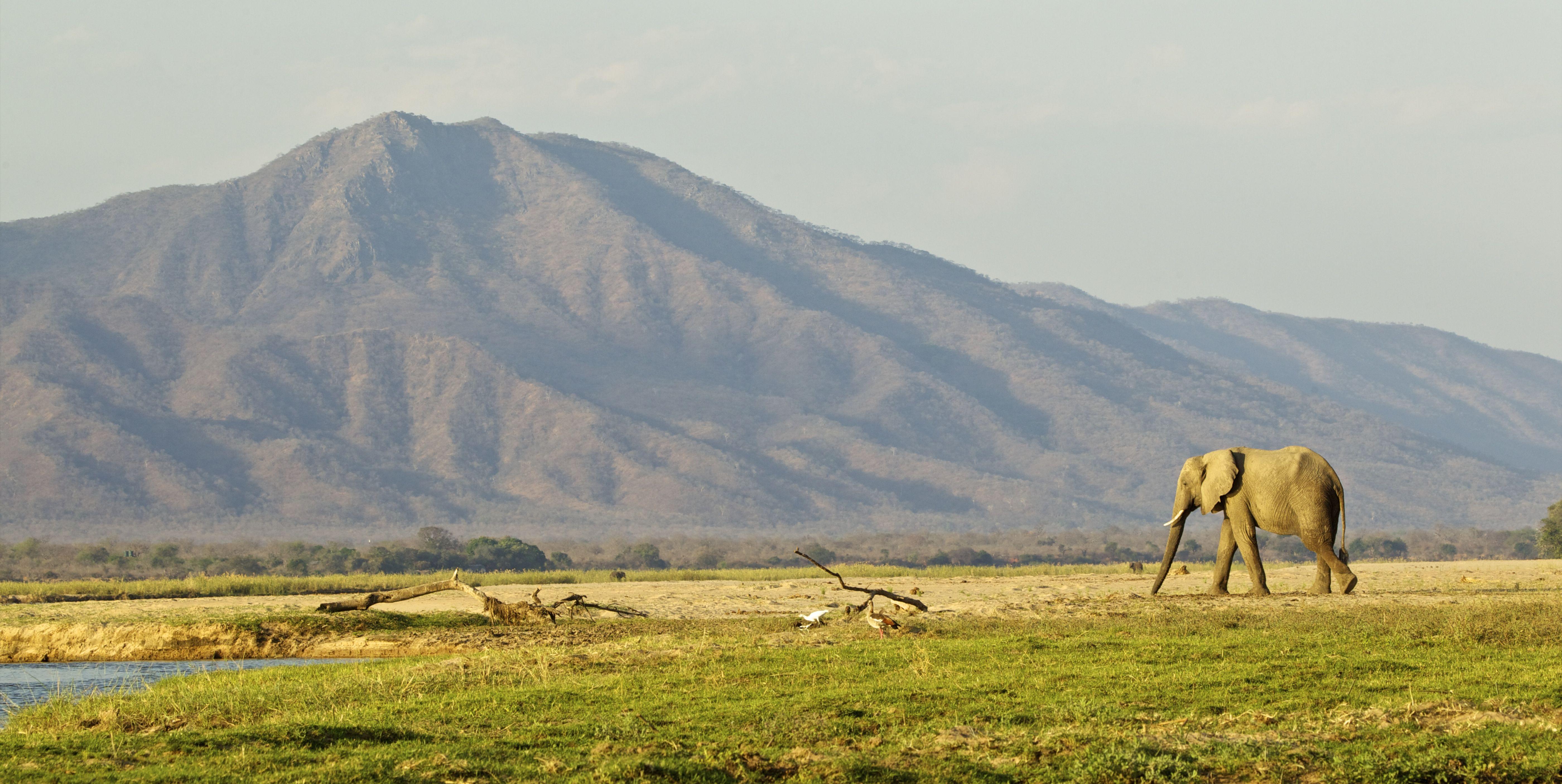 Elephant walking across plain, Mana Pools national park, Zimbabwe, Africa