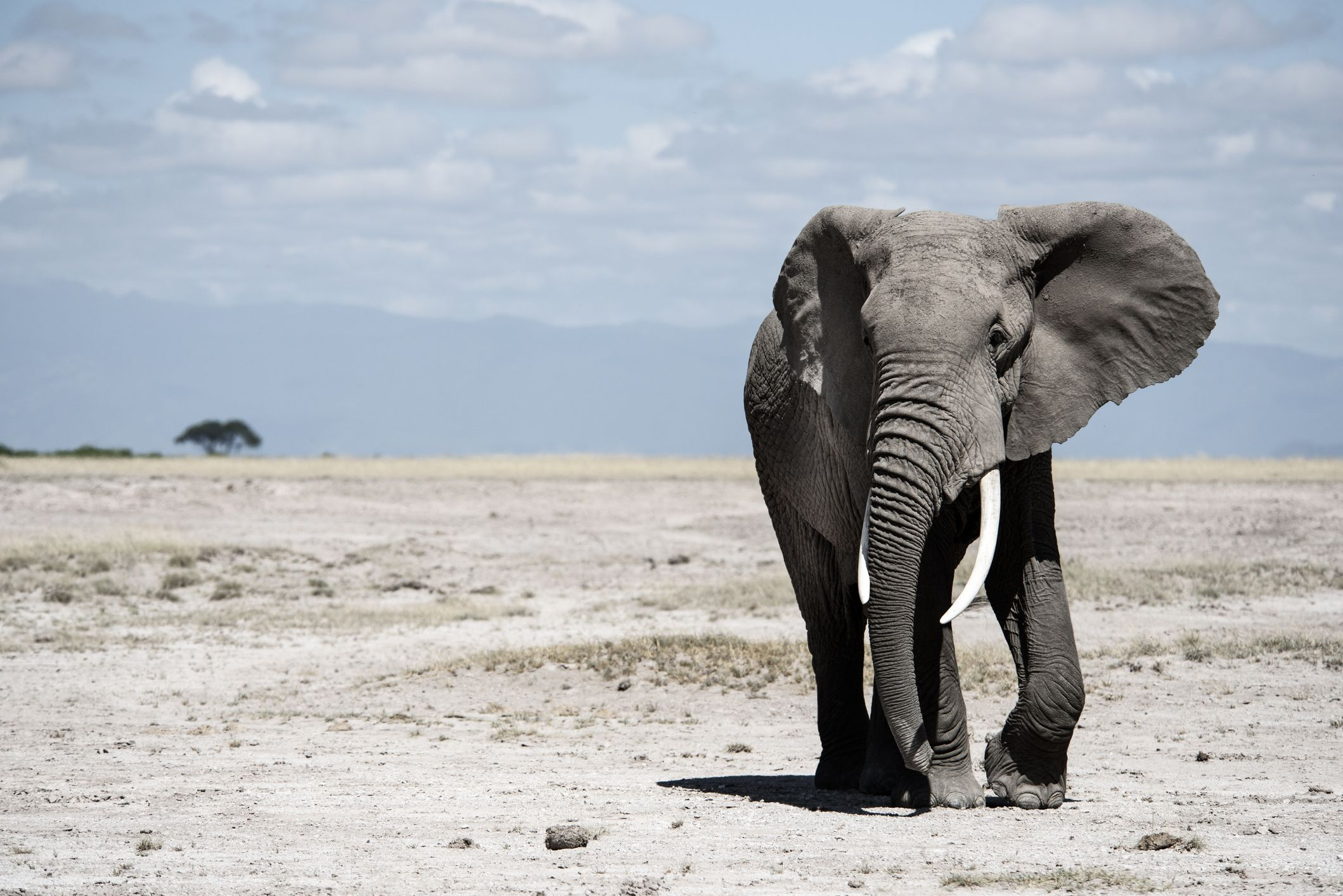 Elephant tusks never stop growing.