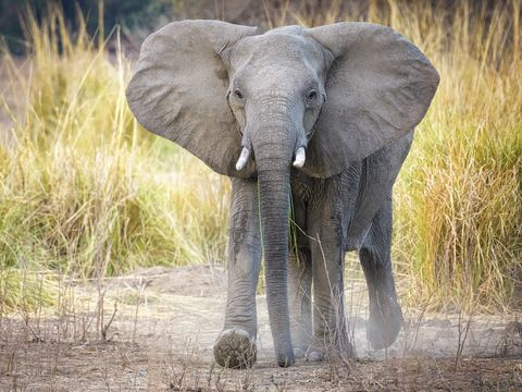 Elephant Walking with Dust at Mana Pools National Park, Zimbabwe