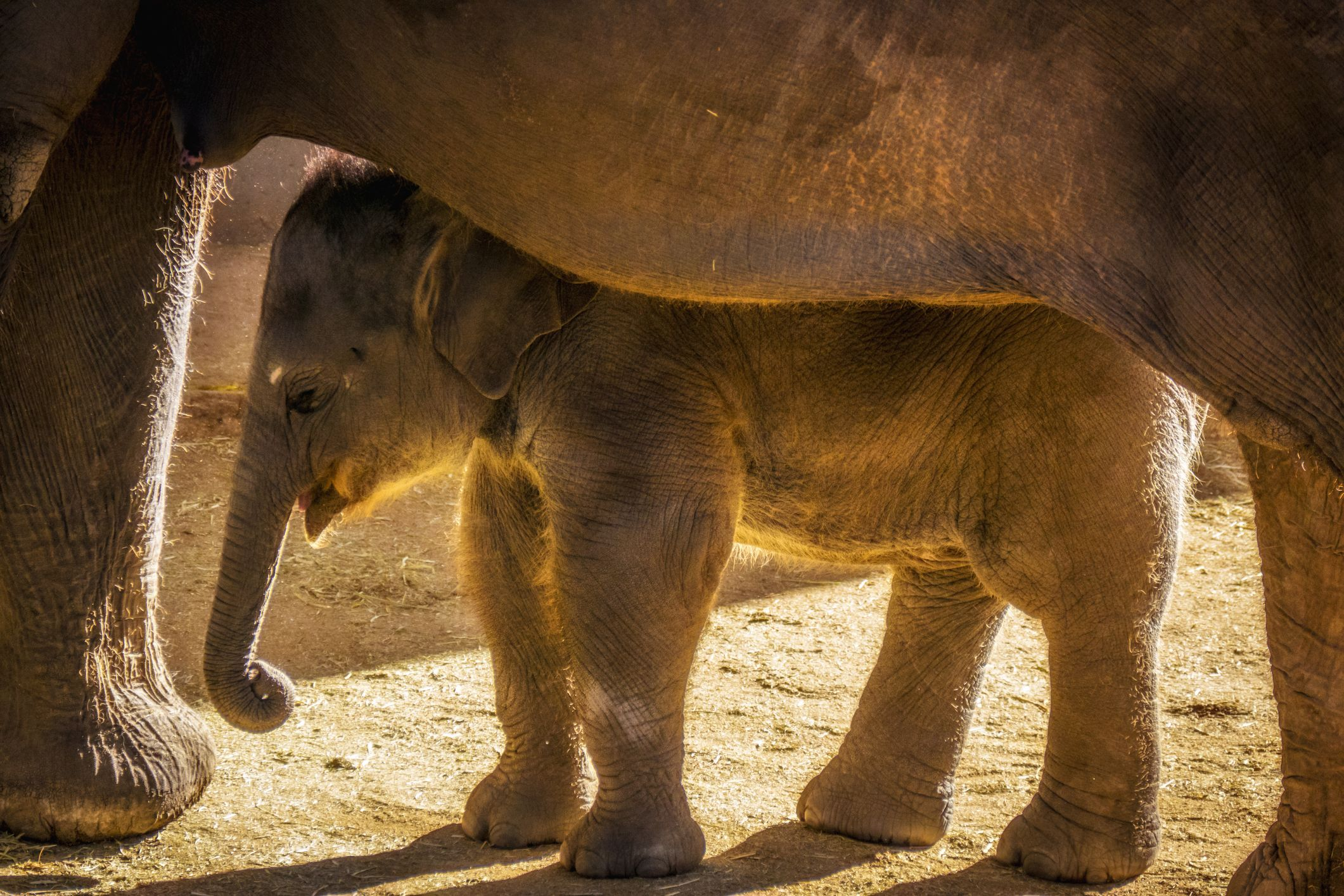 Elephants can be pregnant for two years.