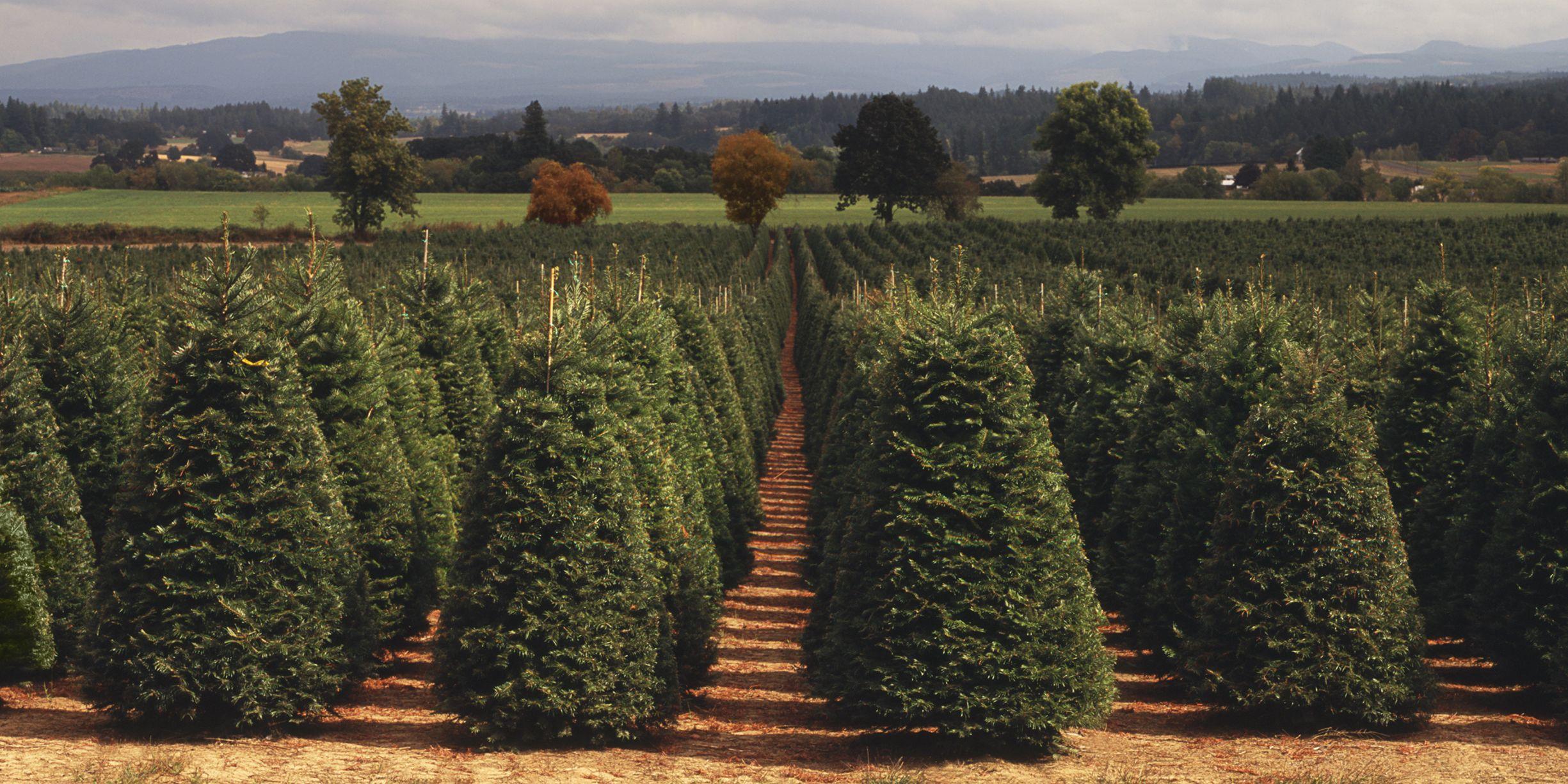 Elgin Christmas Tree Farm.Christmas Tree Farms Near Me 25 Best Christmas Tree Farms