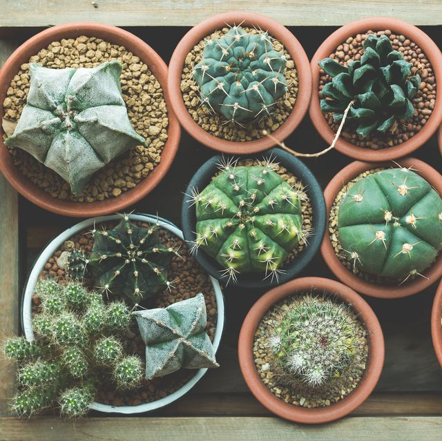cactus, terrestrial plant, plant, houseplant, flower, flowerpot, botany, thorns, spines, and prickles, organism, adaptation,