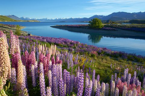 Lupin, Flower, Nature, Lavender, Wilderness, Plant, Natural landscape, Flowering plant, Lake, Wildflower,