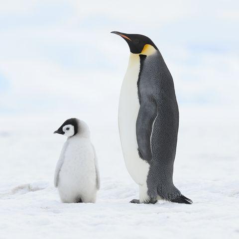 emperor penguin aptenodytes forsteri, chick and adult location snow hill island, weddell sea, antarctica