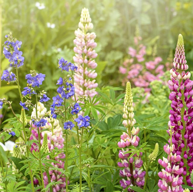english cottage garden with lupin flowers and jacob's ladder   greek valerian, in hazy sunshine