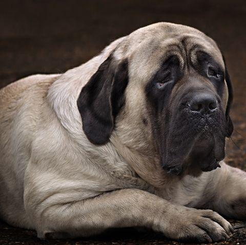 english mastiff   fattest dogs