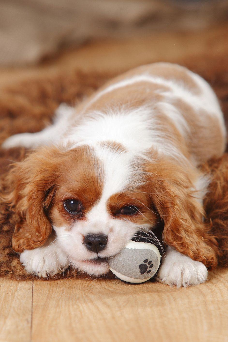 Kleinste Hunderasse #14