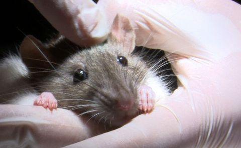 Equipo de investigación. Ratas