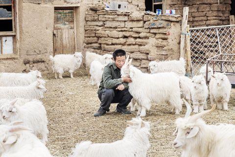 Goats, Livestock, Sheep, Herding, Sheep, Cow-goat family, Rural area, Herd, Village, Goat,
