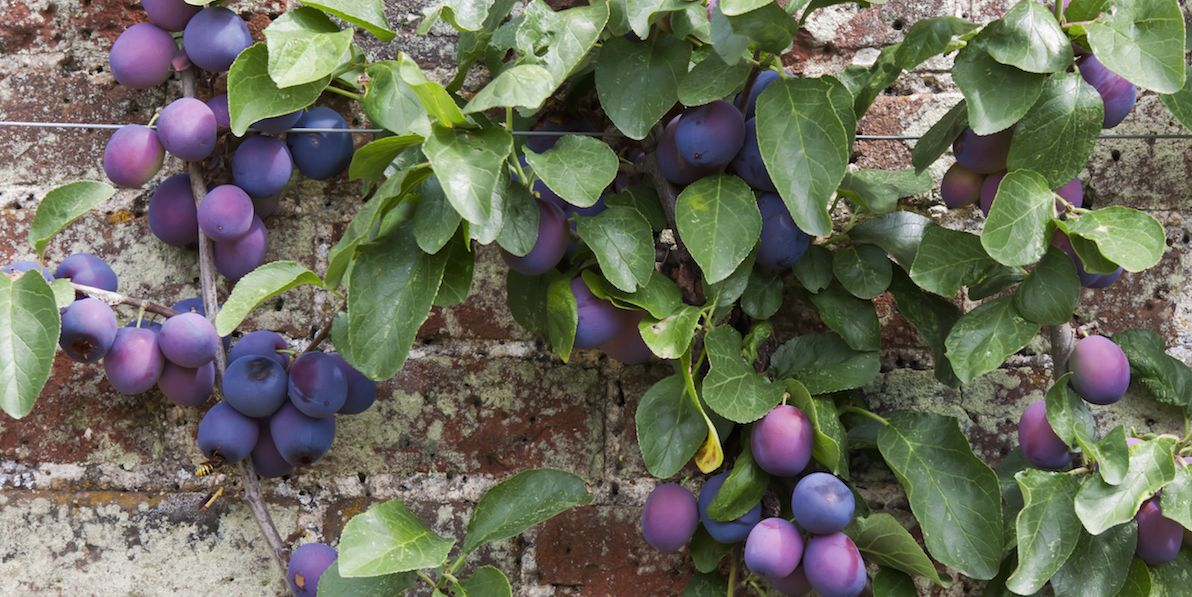 Best Fruit Trees For Small Gardens Dwarf Fruit Trees For Patio