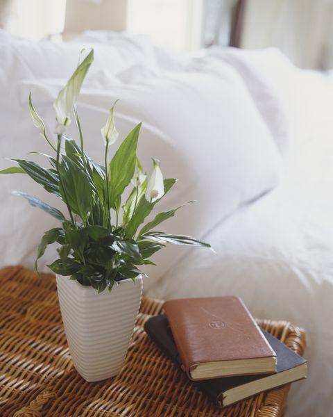planta de espatifilo