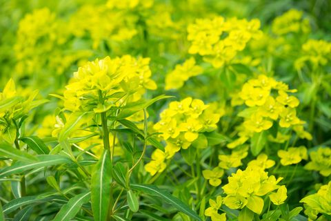 Flower, Flowering plant, Plant, Yellow, Mustard plant, Rapeseed, Brassica rapa, Mustard, Subshrub, Spring,