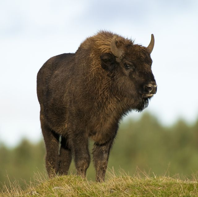 britain's first ever bison ranger needed in kent