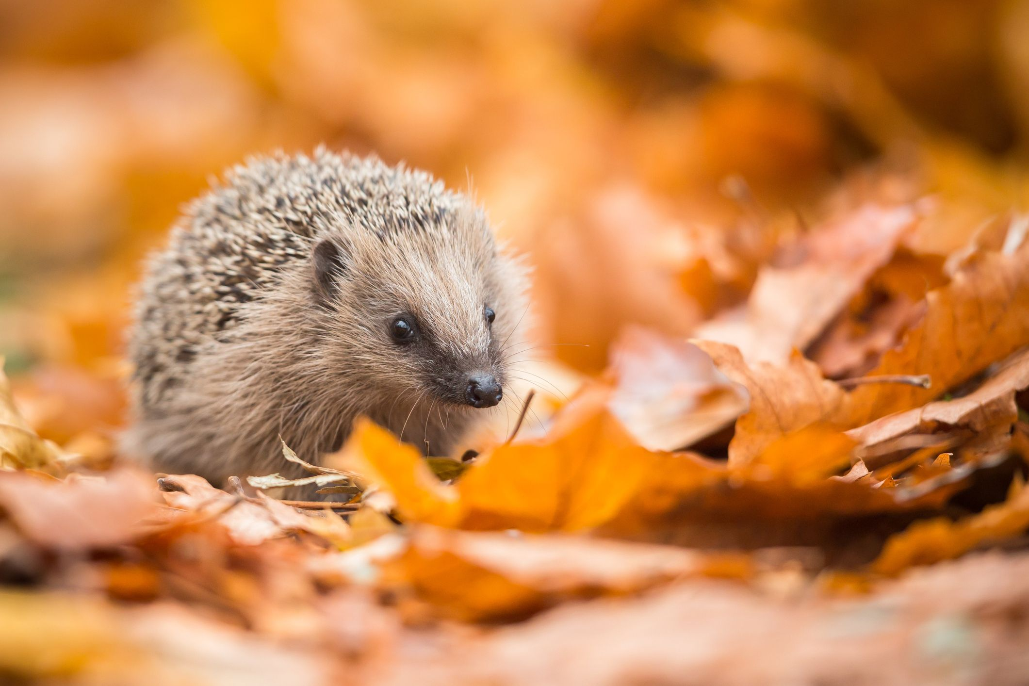 Thousands of underweight hedgehogs have been rescued from the wet weather