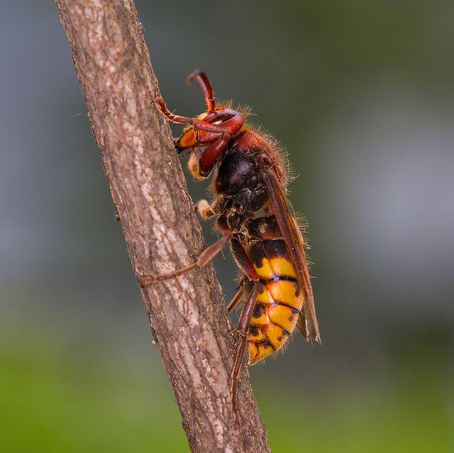 european hornet vespa crabro