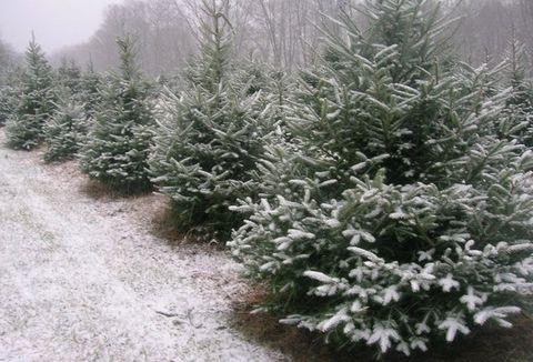 evergreen farm best christmas tree farms near me