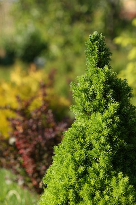 low maintenance shrub dwarf alberta spruce