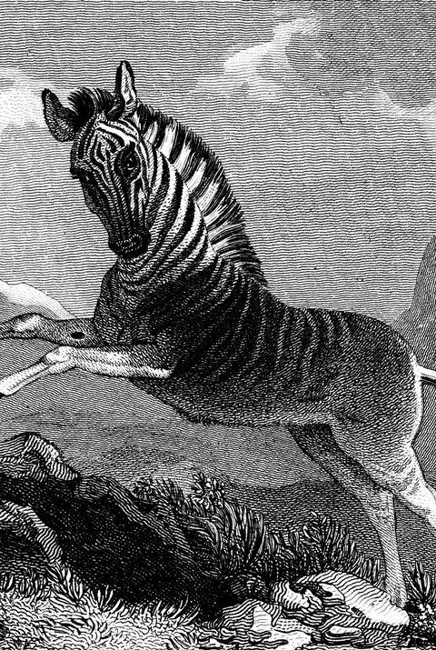 Quagga (Equus quagga)