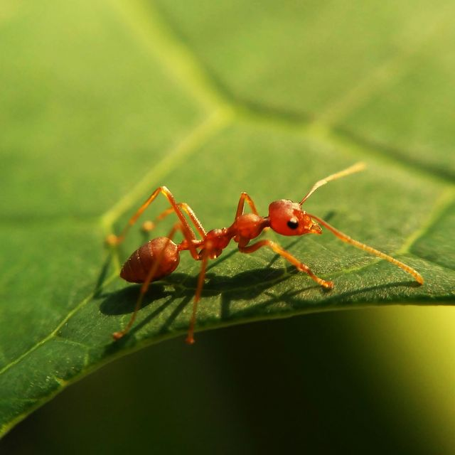 extreme close up of red ant on leaf