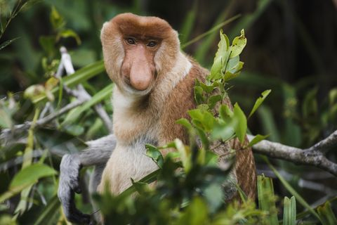 Eye-contact with a proboscis monkey