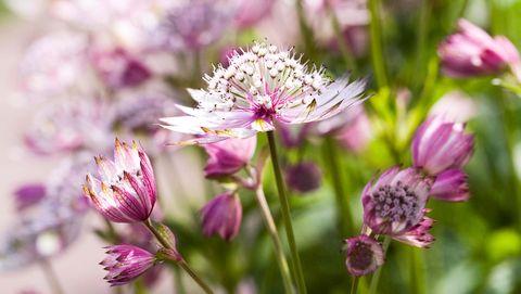 Astrantia major. Masterwort flowers.