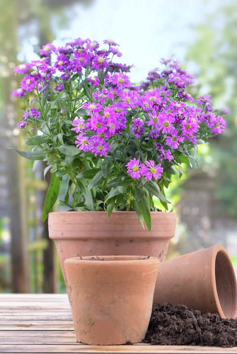 fall flowers for pots containers aster