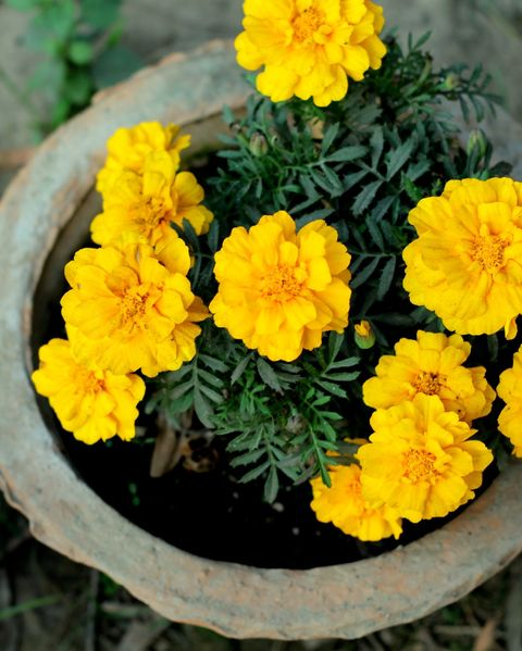 fall flowers for pots containers marigolds