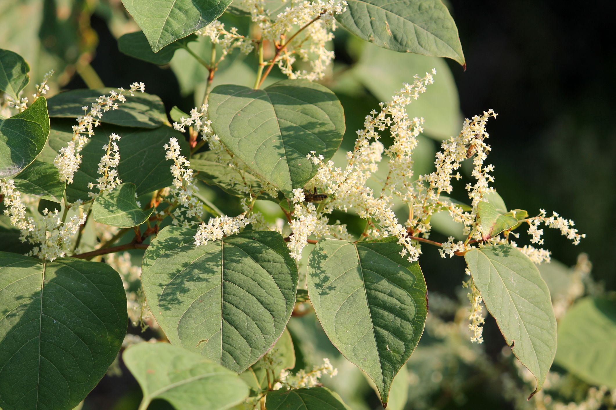 These are the Japanese knotweed hotspots in the UK