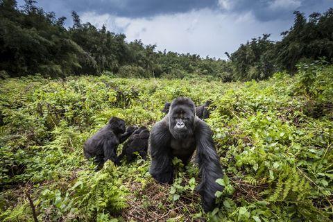 Gorille de montagne (Gorilla gorilla beringei)