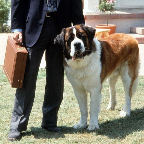 "Famous Dogs from Movies - Beethoven in ""Beethoven"""
