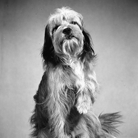 """Famous Dogs from Movies - Benji from """"Benji"""""""