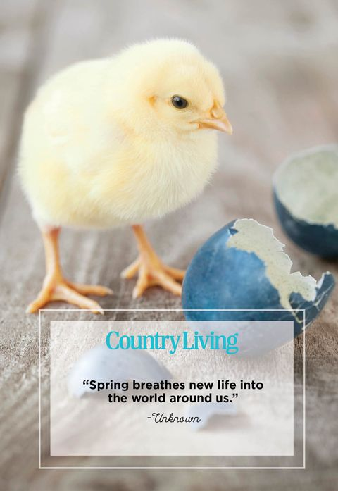 a baby chick and egg shells with a quote that says spring breathes new life into the world around us
