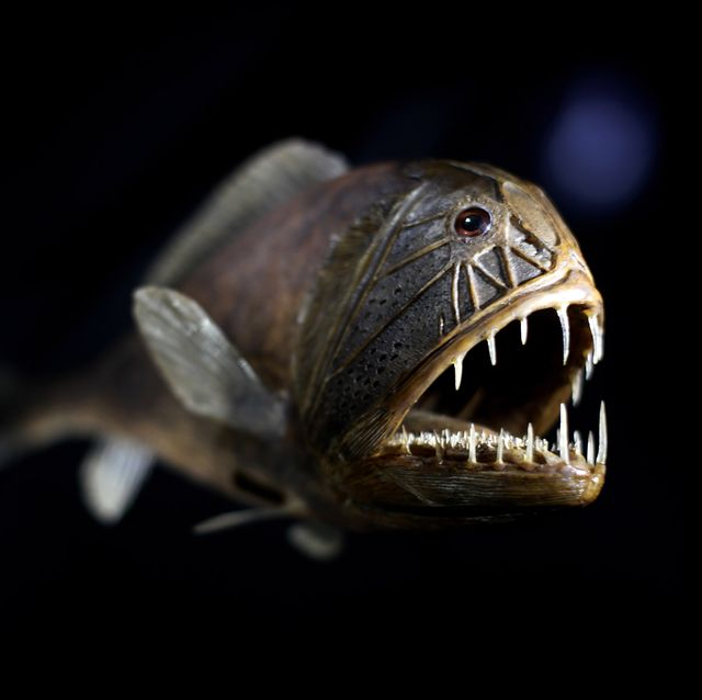 fangtooth-fish-is-displayed-at-the-natur