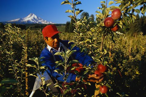 farmer harvesting apples