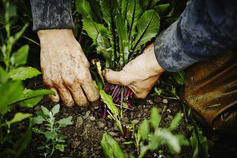farmers hands cutting dandelion greens