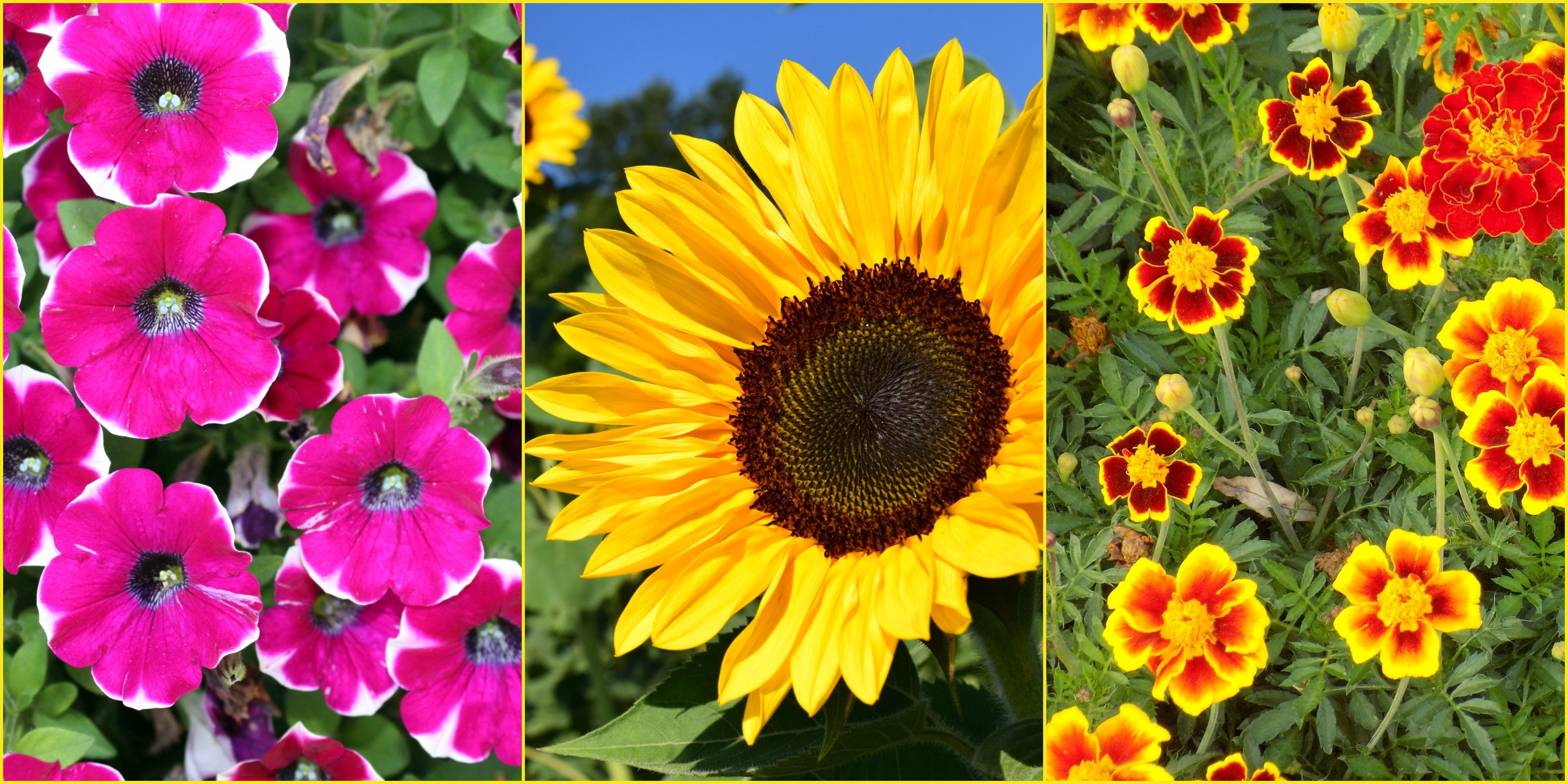 7 of the fastest growing flower seeds for your garden this summer 7 of the fastest growing flower seeds for your garden this summer best summer flower seeds izmirmasajfo