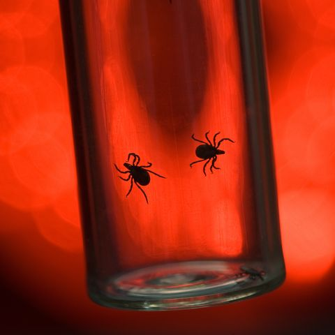 ticks that cause lyme disease in vial on red background
