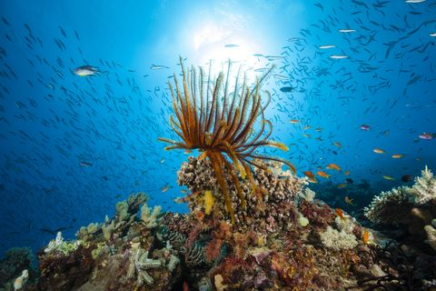 Feather Star on Coral Reef