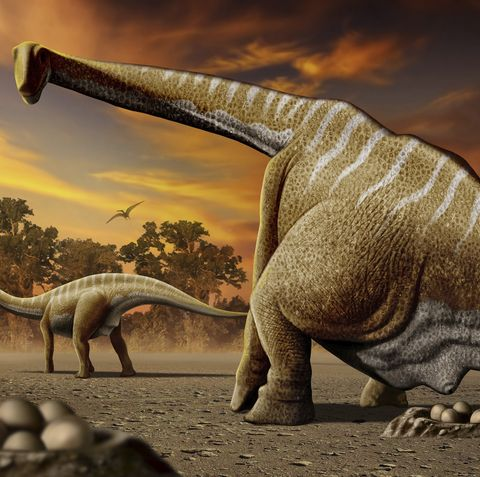 A female Apatosaurus laying her eggs in nest.