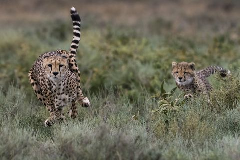 A female cheetah (Acinonyx jubatus) and its cub running, Ndutu, Ngorongoro Conservation Area, Serengeti, Tanzania