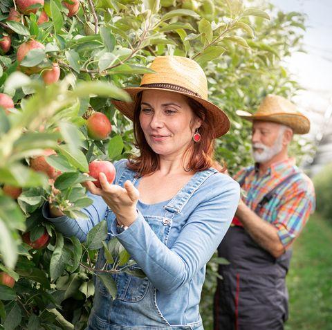 female farm worker harvesting apples in apple orchard