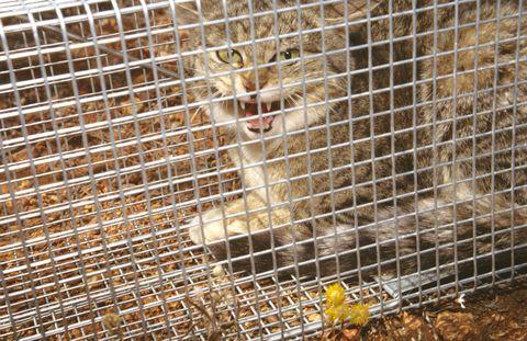 Feral cat, Felis catus, in trap, Wiluna, Western Australia